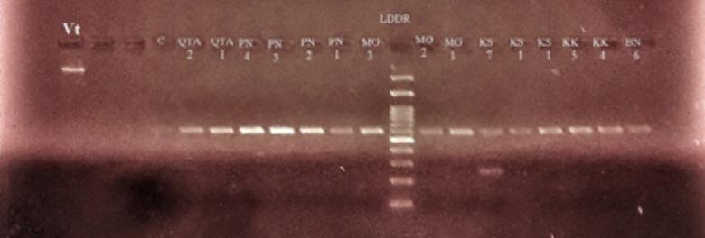 Orobanche species identification through DNA barcoding in tomato crop in uplands of Balochistan, Pakistan